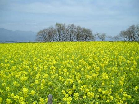 琵琶湖菜の花