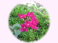 宿根バーベナ(花手毬)もう何年もの間、毎年かわいいお花を咲かせてます。