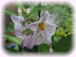 ペピーノのお花