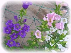 カンパニュラの紫とピンクも咲き始めたよ~♪