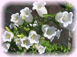 白いカンパニュラも咲いたよ~♪
