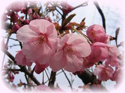 桜が咲いたよ~♪濃いピンク色です。