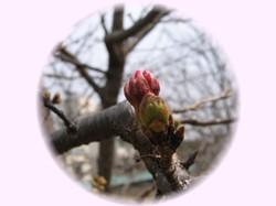 桜のつぼみはまだ小さいなぁ・・・。