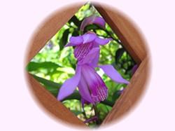 このお花の名前は「知らん」ではなく「紫蘭(シラン)」です。