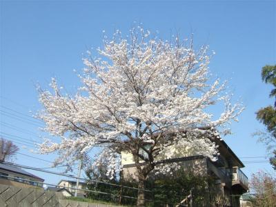 20110415桜2