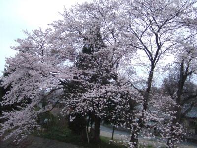 20110415川口川沿いの桜
