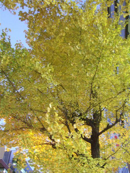 20071207銀杏