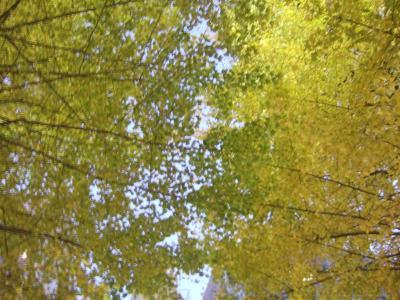 20071207銀杏2