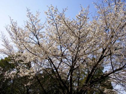 sakurasakura1