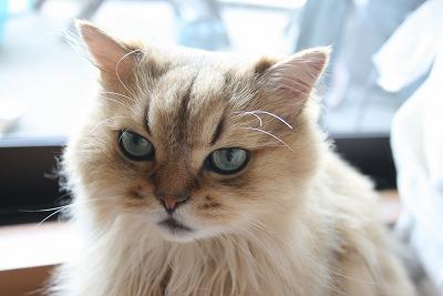 茶色 猫 吐く