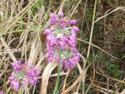 981コムタンリの花.JPG