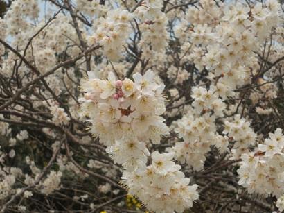 3362山桜.JPG