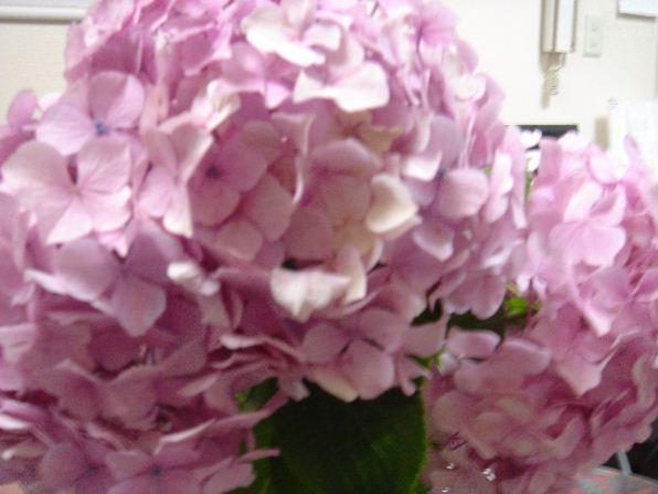 「ピンクの紫陽花」