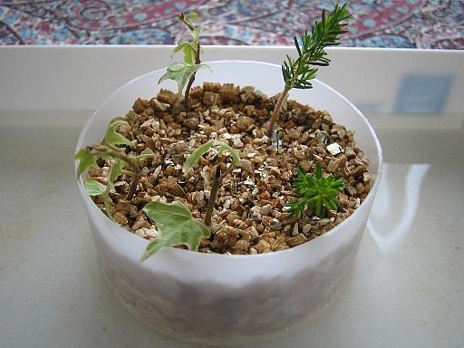 挿し芽と挿し木