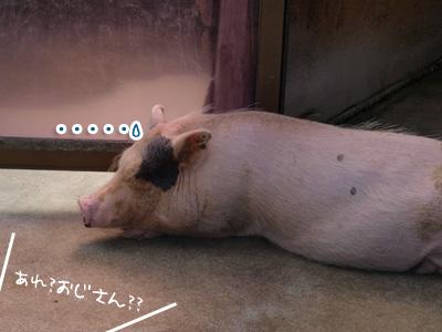 違います、豚さんです.jpg