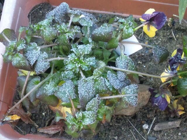 2012.1.27 霜降りビオラ(庭)