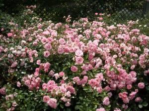 満開のバラ.jpg