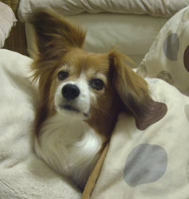 こたつ犬タンタン.jpg