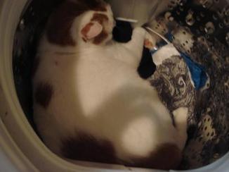 猫洗濯.jpg