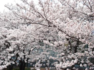 墨田公園桜