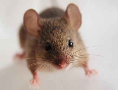 ネズミ 27