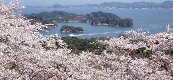 西行戻しの松公園の桜@松島
