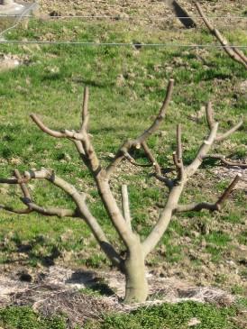 無花果の木