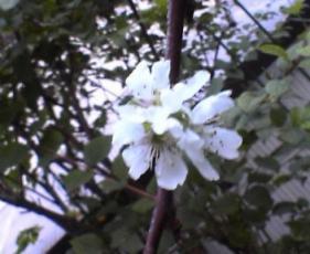 10月の桜