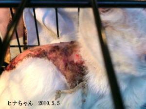 世田谷被害猫ヒナちゃん505