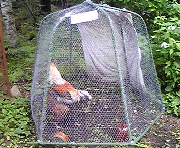 090726西の魔女鶏.jpg