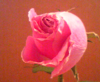 090725ピンク薔薇アップ.jpg