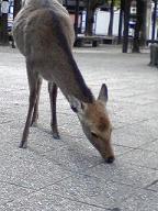 宮島の鹿.jpg