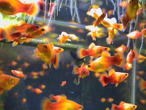 サンセットプラティの稚魚