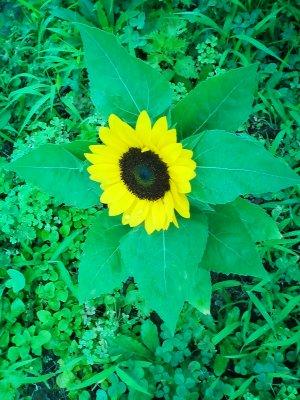 小さい 向日葵 ひまわり ヒマワリ