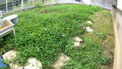 クローバー(シロツメクサ)が生い茂る庭