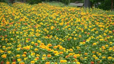 桶川の「べに花」