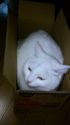 実家の白猫