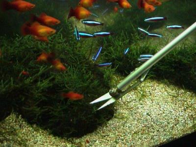 トリミング中に集まってくる熱帯魚たち