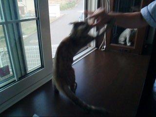 狐を襲う猫