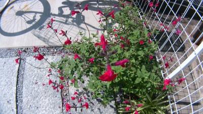 トヨタの環境改善植物チェリーセイジ