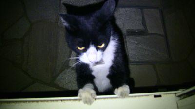 家に上がりこもうとする猫