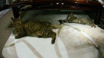 郷里で飼っている猫:コジロウとキューちゃん