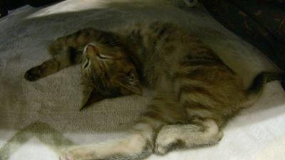 郷里で飼っている猫:寝相の悪いキューちゃん