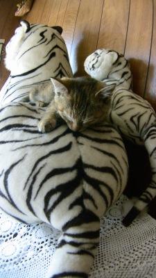 郷里で飼っている猫:トラの上で寝るキューちゃん