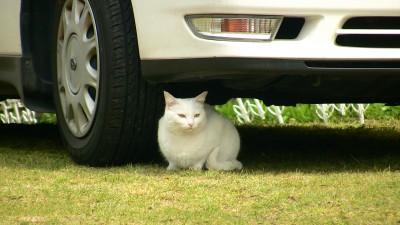 タイヤの前で落ち着く白猫