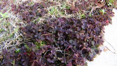 紫のカタバミ
