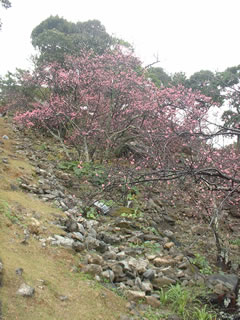 今帰仁城跡の緋寒桜