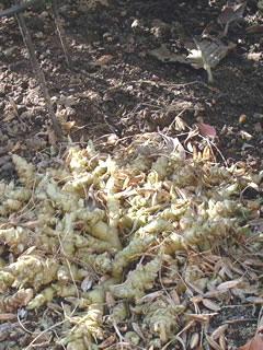落葉中のビオラ・ソロリア