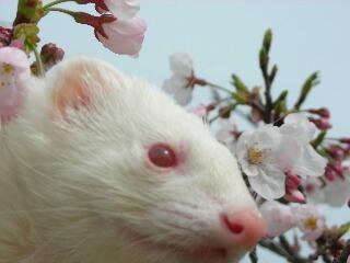 小太郎と桜1.jpg