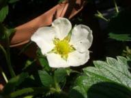 苺花.jpg